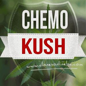 CHEMO KUSH CLONES