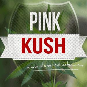 pink kush clones